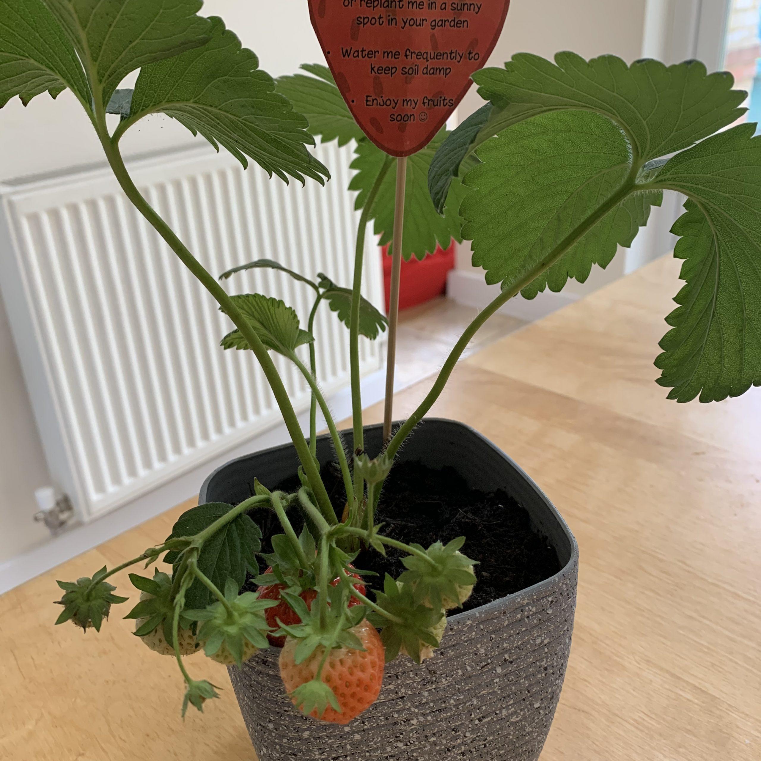 Thoughtful Gift Ideas 63: Strawberry Plant